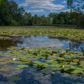 Leknínovka. Milotický rybník