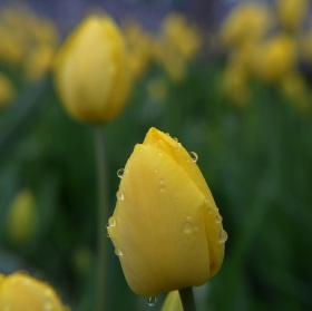 Tulipán po dešti