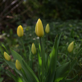Tajemné tulipánky