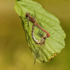 Vážky rudé
