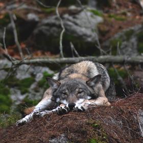 Kdopak by se vlka bál