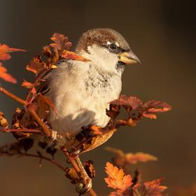 Vrabčák podzimní