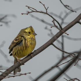 Ptáček zpěváček ...