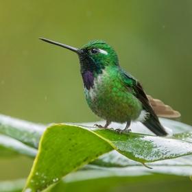 Kolibřík Benjaminův (Urosticte benjamini) Purple-bibbed whitetip