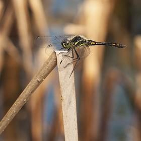 Vážka tmavá