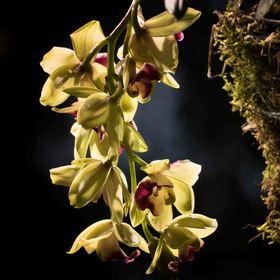 tančící orchidej