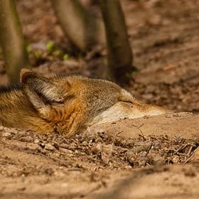 Spící vlk