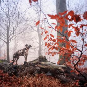 Loki, pes lesní