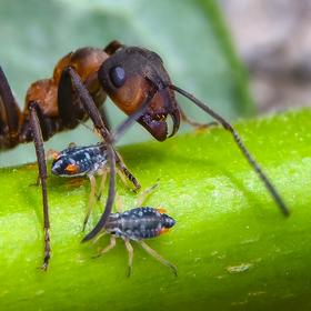Mravenec a jeho mobilní nádrže medovice (mšice)