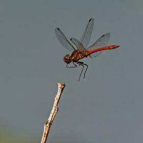 Letovka - Vážka rudá