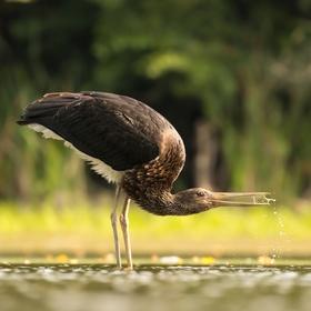 Bocian čierny (Ciconia nigra).