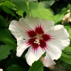 IBIŠTEK SÝRSKY /Hibiscus syriacus L./   II.