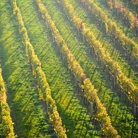 podzim na vinici