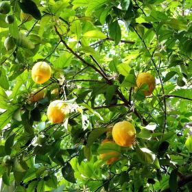 Turecko - Pamukkale - citroník