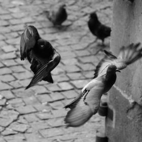 Holubích křídel šum