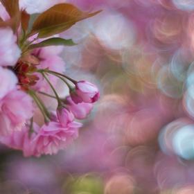 Růžové ráno
