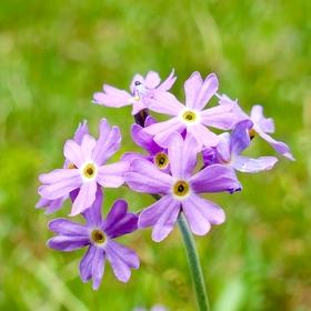 Prvosenka pomoučená (Primula farinosa)