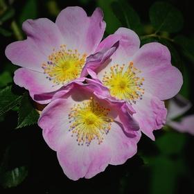 Květy šípkové růže