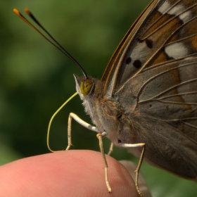 Smutnej motýl