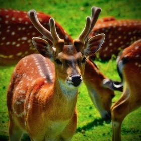 Sika vietnamský zoo ústí nad labem