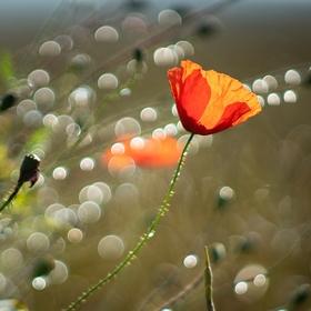 V ranní rose
