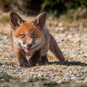 Malý sladký lovec