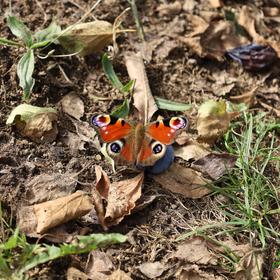 Motýľ František