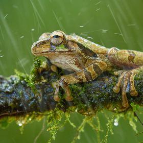 Smiliska zavalitá (Smilisca baudinii) Common Mexican Tree Frog