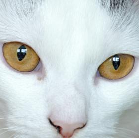 Oči šelmy.