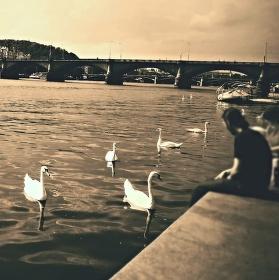 Přátelské labutě