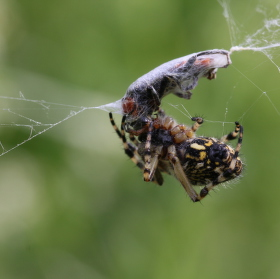 Křižák skvostný (Aculepeira ceropegia)