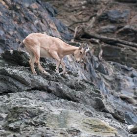horolezec (Kozorožec kavkazský)