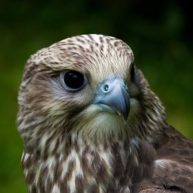 Raroh lovecký - Falco rusticolus