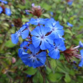 Modrá kytka