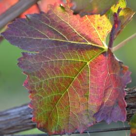 Podzimní réva