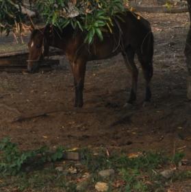 kůn pod stromem
