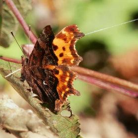 Podzimní motýl