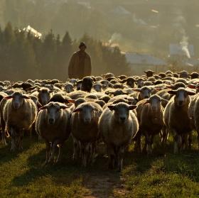 pásol ovce pásol