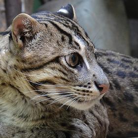Ocelot stromový (kočka tygří)