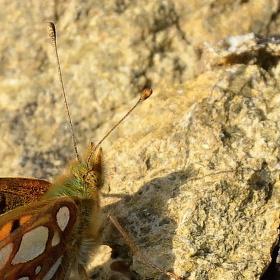Perleťovec malý (Issoria lathonia)