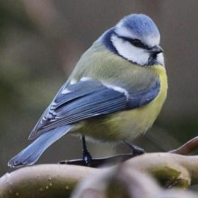 Sýkora modřinka – Parus caeruleus