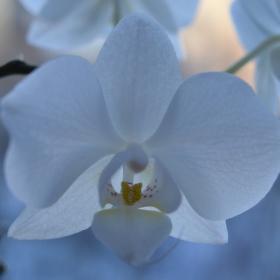 bílé mámení