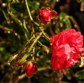 Skleněná růže