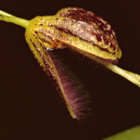 Stelis trichostoma