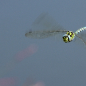 Vážka v letu.