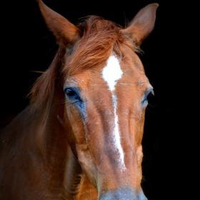 Starý kůň