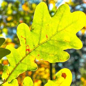 Doubkový listí v podkrkonoší