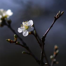 První květy