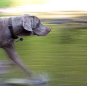 pes a voda