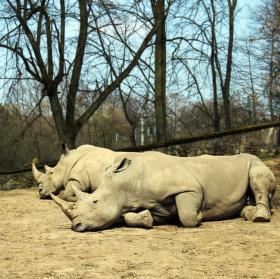 Nosorožci